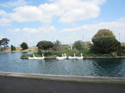 Swans on the boating lake at Ryde