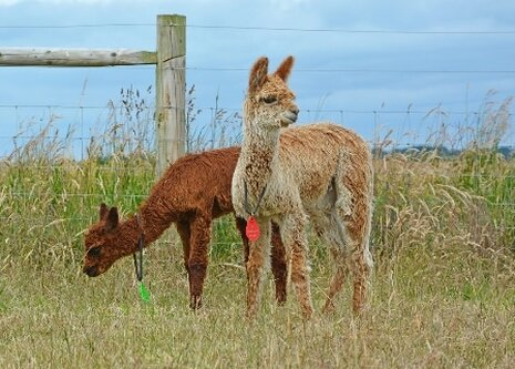 Two alpacas on the Isle of Wight